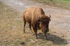 在国家徒步旅行队农场的大水牛 免版税图库摄影