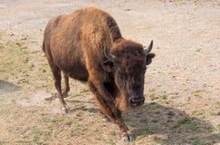 在国家徒步旅行队农场的大水牛 图库摄影
