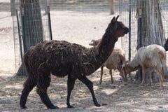 在国家徒步旅行队农场的大羊魄 免版税库存照片