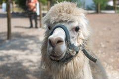 在国家徒步旅行队农场的大羊魄 图库摄影
