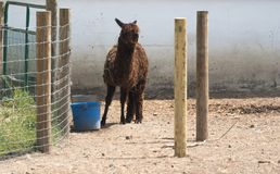 在国家徒步旅行队农场的大羊魄 库存照片