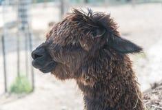 在国家徒步旅行队农场的大羊魄 免版税库存图片