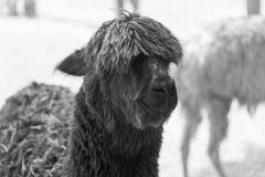 在国家徒步旅行队农场的大羊魄 库存图片