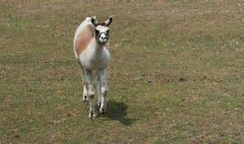 在国家徒步旅行队农场的大骆马 库存照片