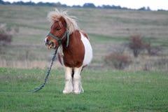 在国家边的小马 免版税图库摄影