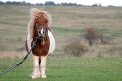 在国家边的小马 免版税库存照片