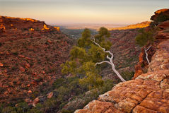 在国王` s峡谷峭壁边缘,澳大利亚的白色树 免版税图库摄影