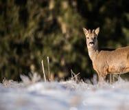 在图片的右边的鹿 库存图片