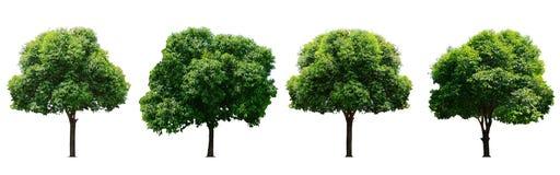 在图表的纯净的白色背景隔绝的美丽的新鲜的绿色落叶树,树的汇集 库存图片