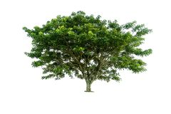 在图表的de白色背景高分辨率隔绝的树 库存照片