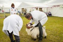 在圆环被判断的矮小山羊在皇家彻斯特 库存照片