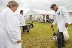 在圆环被判断的矮小山羊在皇家彻斯特 免版税库存图片