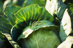 在圆白菜的圆环 免版税库存照片