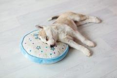 在圆的枕头2的睡觉小狗 免版税库存图片