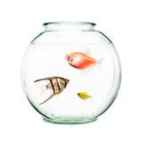 在圆的碗的宠物鱼 免版税图库摄影