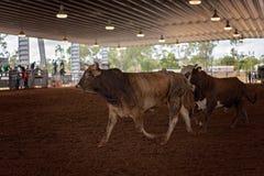 在圈地的圆环的公牛 库存图片