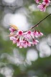 在土井Inthanon, Chiangmai、樱花或者狂放的喜马拉雅树的泰国樱花在庭院里 免版税图库摄影