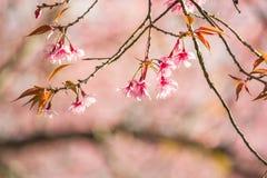 在土井Inthanon, Chiangmai,樱花o的泰国樱花 免版税库存照片