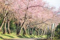 在土井Inthanon, Chiangmai,樱花o的泰国樱花 免版税图库摄影