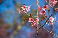 在土井Inthanon, Chiangmai,樱花o的泰国樱花 图库摄影