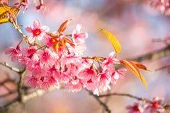 在土井Inthanon, Chiangmai,樱花o的泰国樱花 库存图片