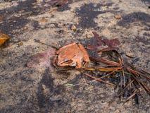 在土关闭的木青蛙Redish布朗 库存图片