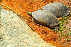 在土地居住的淡水乌龟. 库存照片