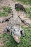 在土地的一条淡水鳄鱼 库存图片