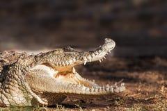 在土地的危险鳄鱼 免版税库存图片