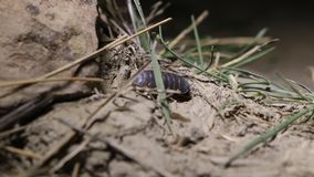 在土地的甲壳动物的潮虫在克里米亚 股票视频