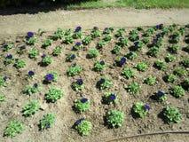 在土地面的装饰紫罗兰色花 免版税库存图片