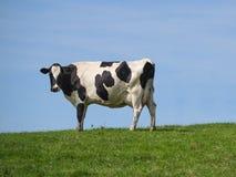 在土坎的霍尔斯坦母牛 免版税库存照片