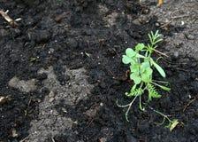 在土壤和井种植的幼木被浇灌 免版税库存图片