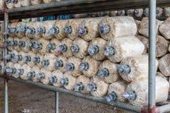 在土壤和锯木屑的蘑菇耕种 库存图片