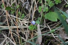 在土壤的一朵蓝色报春花在春天公园 2007年巴西本质11月照片 库存照片