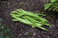 在土壤的红花菜豆 免版税库存照片