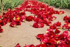 在土壤的郁金香红色芽在收获以后 免版税库存照片