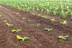 在土壤的香蕉耕种 免版税图库摄影
