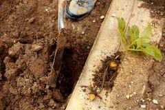在土壤盖子的年轻土豆 植物特写镜头 有机土豆耕种 新鲜的土豆菜用在土壤土的肿胀 免版税库存照片