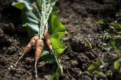 在土壤背景,农夫样式照片的新鲜的红萝卜 库存照片