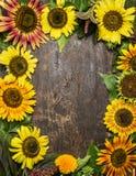 在土气木背景,顶视图的五颜六色的向日葵框架 免版税库存照片