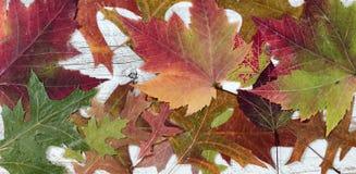 在土气白色木头的秋天叶子在被填装的框架布局 免版税库存图片