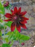 在土气的绽放的罕见的红色花 库存图片