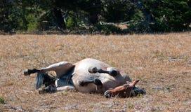 在土的红色软羊皮的狂放的公马辗压在普莱尔山野马范围在蒙大拿 免版税库存图片