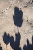 在土的郁金香阴影 库存照片