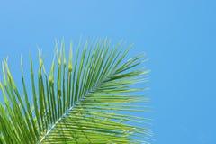 在土耳其玉色天空背景的绿色棕榈树 与文本空间的唯一棕榈叶横幅模板 免版税库存照片