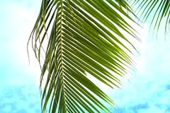 在土耳其玉色天空背景的蓬松棕榈叶 热带自然艺术性的被定调子的照片 生动的椰树棕榈叶 免版税库存照片