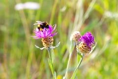 在土蜂下控制的草甸花  免版税库存照片