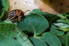 在土豆和绿色叶子爬行并且吃他们镶边科罗拉多薯虫的图象的关闭 库存图片