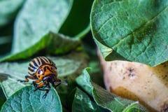 在土豆和绿色叶子爬行并且吃他们镶边科罗拉多薯虫的图象的关闭 免版税库存图片